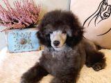 Silver Toy Poodle Bebeklerimiz a Kalite Irk Ve Sağlık Garantili