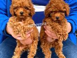 Dişi Ve Erkek Red Brown Toy Poodle Yavrular