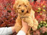 Koyu (Dark) Apricot Erkek Toy Poodle Yavrumuz
