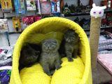 Scotısh Fold British Shorthair Yavruları