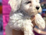 Anne Altından Maltese Terrier Yavrularımız