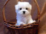 Safkan 0 Numara Maltese Terrier Yavrularımız