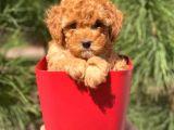 Yüksek Kalite Toy Poodle