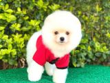 Sevimli Pomeranian Boo