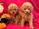 Bebek Surat Toy Poodle Yavrular Wc Eği̇ti̇mli̇