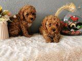 Minyatür Poodle Yavrularımız