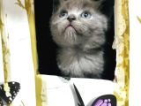 Scottish Fold British Shorthair