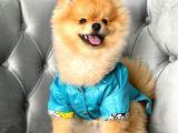 Rio Tedy Bear Pomeranian Oğlumuz