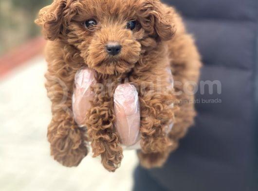 Baby Face Toy Poodle Yavrular