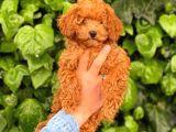 3 Aylık Erkek Redbrown Poodle