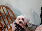 3 Yaşında Maltese Terrier