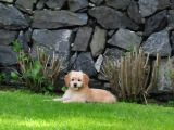 Goldendoodle Yavrularımız