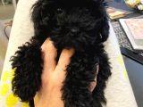 3 Aylık Dişi Poodle Black