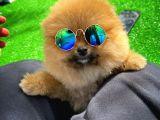 Dikkat Çeken Dişi Pomereanian Köpeği