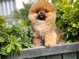 Güzel Ötesi Safkan Ayı surat Teddybear Boo Pomeranian Kızımız Winy
