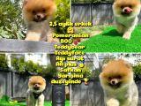Orjinal Renk ve Sınıf Boo Pomeranian Oğlumuz Pooh