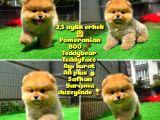 Safkan Ayı Surat Teddybear Boo Pomeranian oğlumuz Bonny