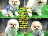 Orjinal Ayı Surat Teddybear Boo Pomeranian Oğlumuz Manga
