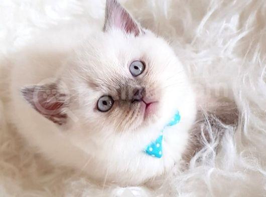 Safkan Sağlıklı Lilac British Shorthair Yavrumuz Milky