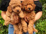 3 Aylık Erkek Toy Poodle Yavrumuz