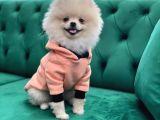 Pomeranian Boo Oğlumuz Fox