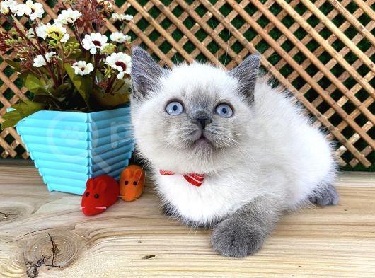 Safkan Sağlıklı Blue Point British Shorthair Yavrumuz Milky