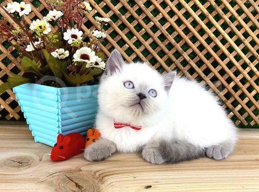 Süper Kalite Blue Point British Shorthair Yavrumuz Sumo