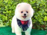 Yakışıklı Pomeranian Boo