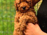 Şov Kalite Red Toy Poodle
