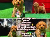 Ödül Adayı Safkan Toy Poodle Oğlumuz