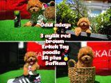 Ödül Adayı Safkan Red Brown Toy Poodle Oğlumuz