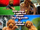 Orjinal Renk Safkan Red Brown Toy Poodle Kızımız