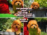 Yarışma Düzeyinde Safkan Red Brown Toy Poodle Oğlumuz