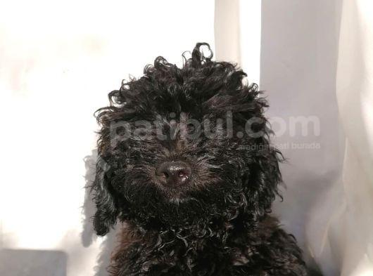 Poodle Erkek 2 Aylık Safkan Yavru