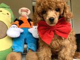 Orjinal Toy Red Brown Poodle Yavrumuz