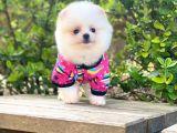 Dünya Tatlısı Pomeranian Boo