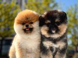 Boss ve Lora Teddybear Pomeranian Boo Yavrularımız
