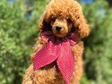 Micro chipli pasaportlu red toy poodle yakışıklı yavrumuz :)