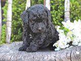Pasaportlu micro chipli toy poodle siyah inci bebek :)