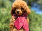 Orjinal Red Toy Poodle Yavrumuz