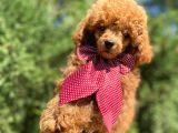 Red toy poodle yakışıklı yavrumuz :)