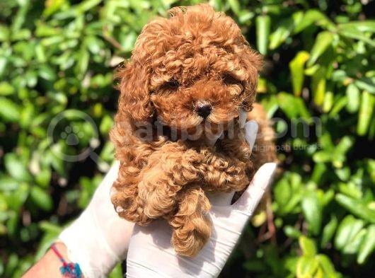 Toy Poodle Yavrular (Red,Red Brown,Apricot,Silver,Siyah)