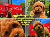 Orijinal Renk Safkan Red Brown Toy Poodle Oğlumuz Çokolin