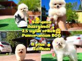 Orijinal Ayı Surat Teddybear Boo Pomeranian Oğlumuz