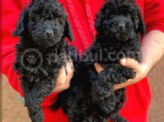 Sevimli Black Toy Poodle Yavrularımız