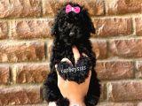 Siyah Inci Black Toy Poodle Erkek Yavrumuz