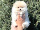 Teady Bear Pomeranian Boo Erkek Yavrumuz