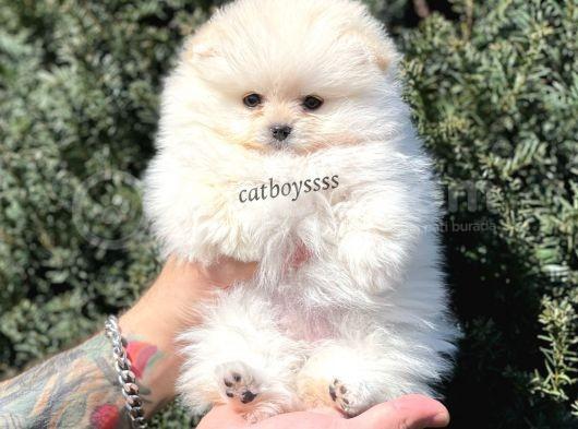 Sevimli Dişi Pomeranian Boo Yavrumuz