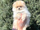 Pomeranian Boo Teady Bear Erkek Yavrumuz