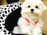 Teacup Korean Terrier Maltese Yavrularımız